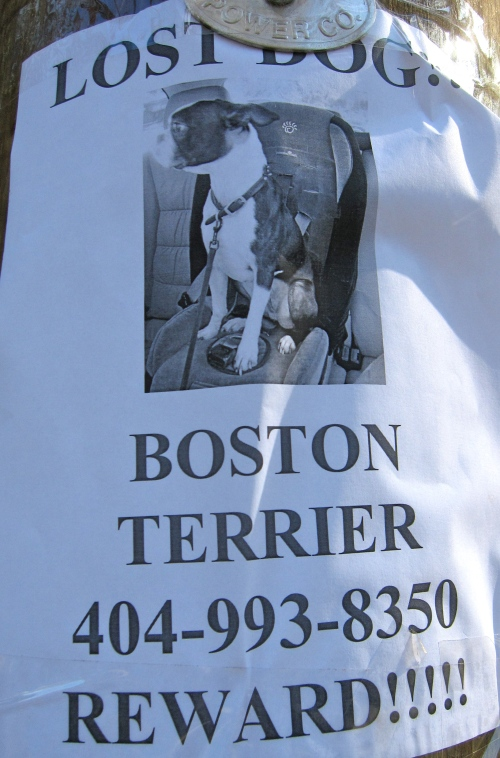 Lost Dog Boston Terrier 404-993-8350 Reward!!!!!